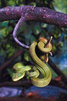 10 Fatos sobre cobras víbora