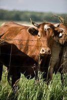 Fazendas de gado do século 19