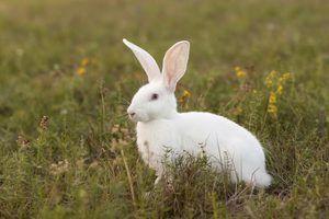 Sobre coelhos albinos