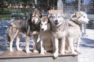 Atividades para um husky siberiano