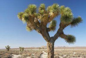 A árvore de Joshua tem folhas espinhosas com menos superfície para perder água por evaporação.