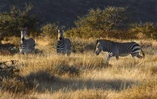 Tipos de arbustos africanos