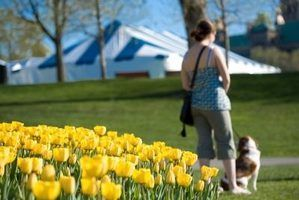 São tulipas venenoso para os cães?
