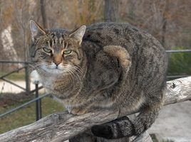 Artrite medicamentos para gatos