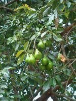Ferramentas para escolher abacates