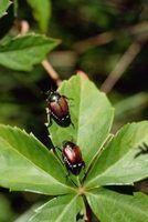 Besouros que picam