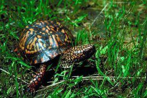 Tartarugas nativa da tennessee