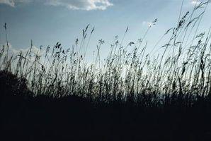 Creeping tomilho como uma alternativa gramado