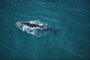 Adaptações baleia azul para a sobrevivência
