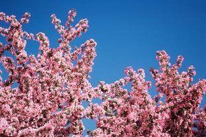 Bugs que estão comendo as folhas de uma árvore de cereja