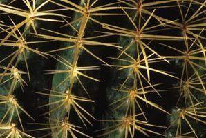 Descrição cactus