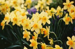 Regras de capitalização para flores