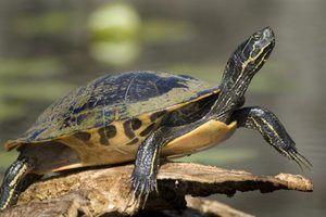 Cuidados guia para tartarugas de barriga amarela bebê