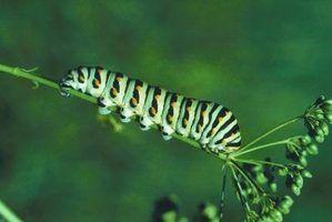 Preto lagarta andorinha é apenas um dos insetos encontrados em um jardim Louisiana.