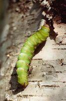 Pensilvânia tem muitas lagartas nativas.