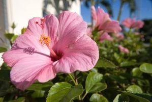 Classificação das sinensis hibisco