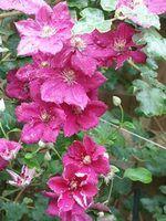 Escalada flores em wisconsin