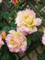 Escalada rosas que florescem durante todo o verão