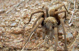 Aranhas comuns da língua de terra de texas