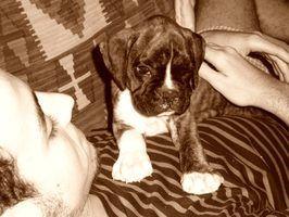 Sinais diários de gravidez em um cão boxer