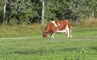 Necessidades de alimentação vaca leiteira