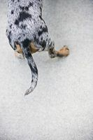 Fatos do dachshund dapple