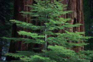 Amanhecer sequóias são muito menores que sequóias gigantes, mas têm a mesma casca avermelhada característica.