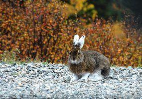 Diferenças entre coelhos de coelho e lebres
