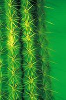 As diferenças entre euphorbia & cactus