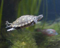 As diferenças entre jabutis e tartarugas marinhas