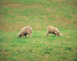 Diferenças entre o leite de ovelha e de leite de cabra