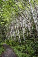 Diferentes tipos de árvores de vidoeiro