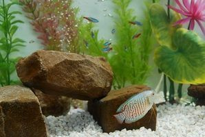 Doenças de peixes tetra em aquários