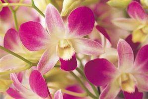 Faço para aparar orquídea hastes quando as flores caem das plantas?
