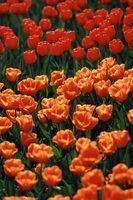 Faça tulipas precisam ser cortadas para trás quando florescer feito?