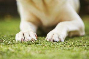 Lesões de unha cão