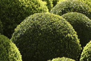 Arbustos globo evergreen