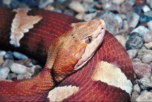 Fatos sobre cobras copperhead