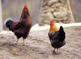 Fatos sobre frangos de pré-escolares