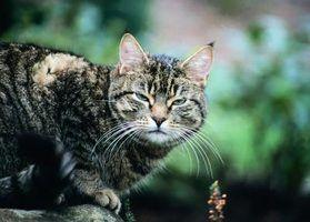 Realçadores de sabor para gatos