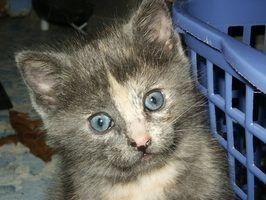 Tratamentos da pulga para gatinhos com menos de 8 semanas