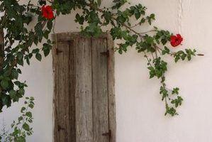 Trepadeiras floridas que crescem na sombra parcial