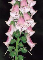 flores dedaleira são comuns em jardins ingleses.