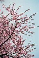 As flores que crescem em árvores