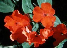 Flores que se parecem com impatiens