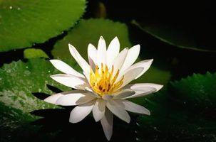 Flores que simbolizam o contentamento & esquecimento
