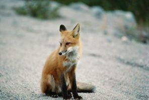 Cores de pele de raposa