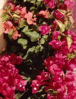 Plantas de sol completas para vasos ao ar livre no centro de florida