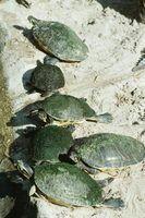 Período de gestação de ovos de tartaruga