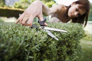 Cuidado poda semi-anual irá manter a forma desejada de arbustos topiaria.